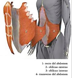 Resultado de imagen de transverso del abdomen